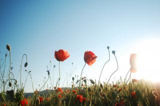 Coquelicot - champs - pré fleuri - générique